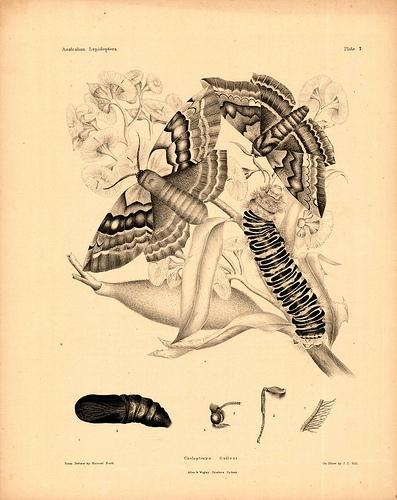 Australian Lepidoptera Plate 7