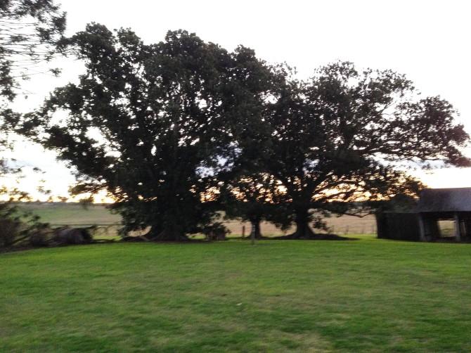 Dalwood trees