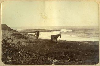 Two horses on shoreline, possibly near present day Newcastle Ocean Baths site c.1880s (Photograph by George Freeman)